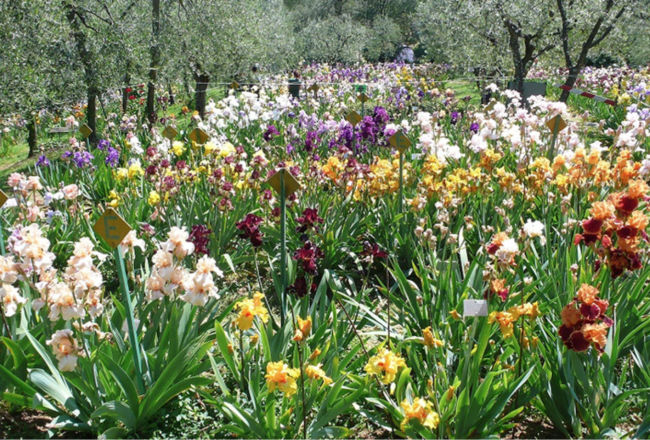Visita Guidata al Giardino dell'Iris di Firenze